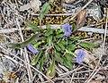 Globularia bisnagarica in Aveyron (6).jpg