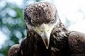 Golden eagle portrait.jpg