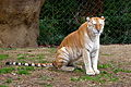 Golden tiger in tennessee zoo in.jpg