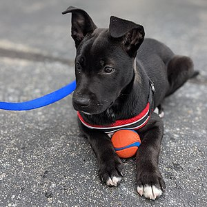 Black and white puppy laying on asphalt, wearing a red harness with a blue leash and holding an orange and blue ball between his paws