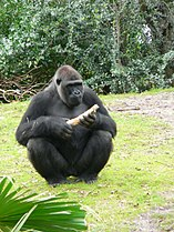 Gorilla gorilla gorilla11.jpg