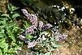 Gråmynta. Mentha longifolia -3083 - Flickr - Ragnhild & Neil Crawford.jpg