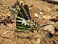Graphium antiphates - Five-bar Swordtail 20.jpg