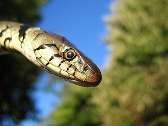 Grass snake - Image: Grass snake head