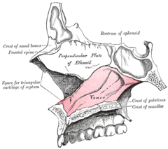 Median wall of left nasal cavity showing vomer in situ.