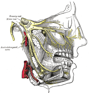 Inferior alveolar nerve - Distribution of the maxillary and mandibular nerves, and the submaxillary ganglion. (Inferior alveolar visible at center left.)