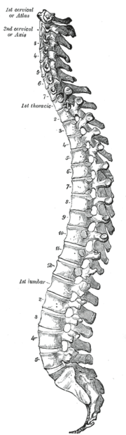 Colonna vertebrale umana, vista sagittale. Tavola dall'anatomia di Gray