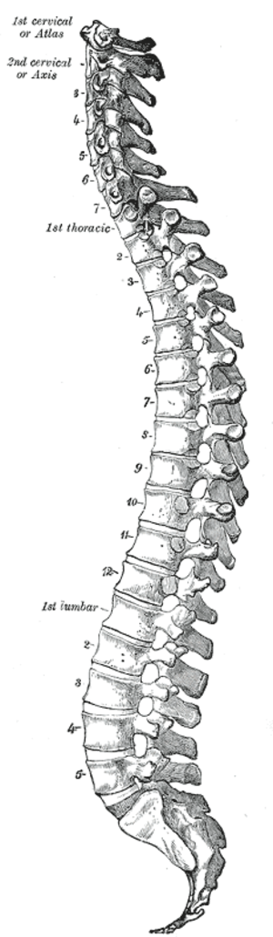 Segmentation (biology) - Vertebrates have a segmented vertebral column and brain.