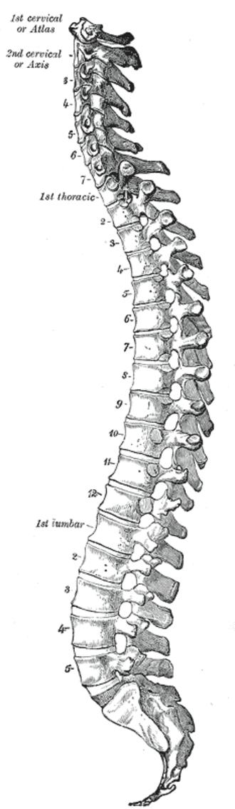 Segmentation (biology) - Vertebrates have a segmented vertebral column.