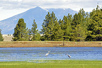 Coconino County, Arizona - Great blue herons at Tonys Tank (near Mormon Lake), Coconino National Forest. San Francisco Peaks in background.