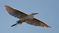 Great Egret (7635240862).jpg