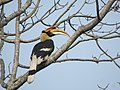 Great Hornbill DSCN8644 04.jpg