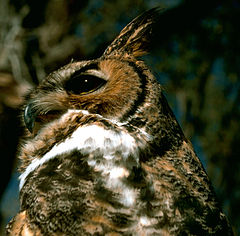 Great Horned Owl.USFWS.jpg