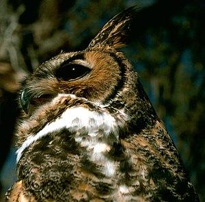 Little Sahara Recreation Area - Great Horned Owl
