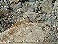 Great Rosefinch (Carpodacus rubicilla) (23725402662).jpg