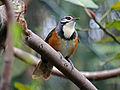Greater Necklaced Laughingthrush RWD2.jpg