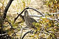 Greater roadrunner (Geococcyx californianus).jpg