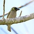 Green Barbet (Woodward's Barbet), Stactolaema olivacea ssp. woodwardi, at Ngoye Forest, Kwa Zulu-Natal, South Africa (39568510252).jpg