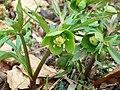 Green Hellebore (Helleborus viridis) (4441320056).jpg