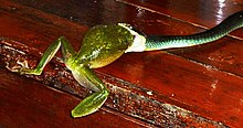 Green Tree Snake eating White-lipped Tree Frog.JPG