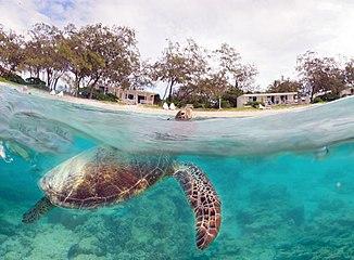 7cd245eea Green sea turtle - Wikipedia