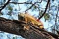 Green iguana (24651849745).jpg
