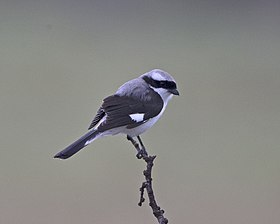 Grey-backed Fiscal (Lanius excubitorius) (21126084106).jpg