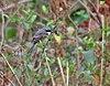 Grey-backed Shrike (Lanius tephronotus) at Samsing, Duars, WB W IMG 5955