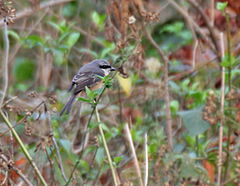 Grey-backed Shrike (Lanius tephronotus) at Samsing, Duars, WB W IMG 5955.jpg