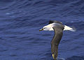 Grey-headed Albatross (Thalassarche chrysostoma) (11027769733).jpg