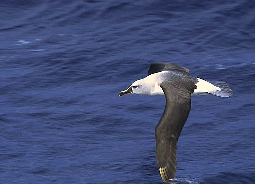 Grey-headed Albatross (Thalassarche chrysostoma) (11027769733)
