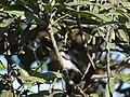 Grey Buschchat - Saxicola ferreus - DSC03945.jpg