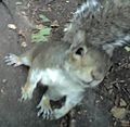 Grey squirrel in Heaton Park.jpg