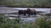 File:Grizzly bears (Ursus arctos) in Alaska.webm