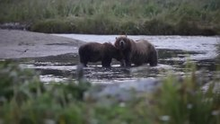 Податотека:Grizzly bears (Ursus arctos) in Alaska.webm