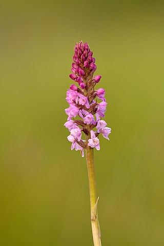 Short spurred fragrant orchid