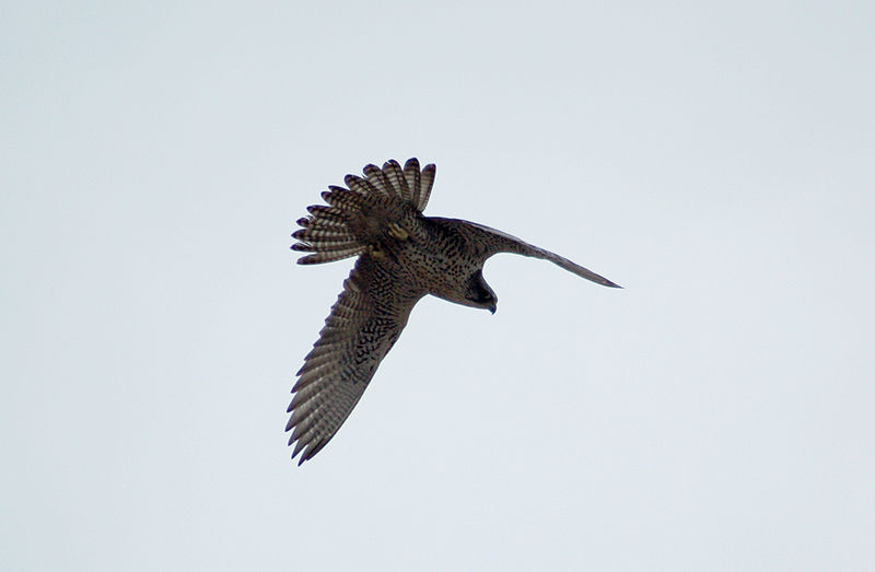 File:Gyrfalcon (falco rusticolus) in flight.jpg