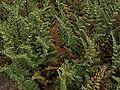 H20140611-2821—Pellaea mucronata—RPBG (14253897340).jpg
