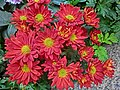 HK 上環 Sheung Wan 般咸道 4 Bonham Road 寶威閣 Parkway Court red daisy Chrysanthemum flowers Feb-2014.JPG