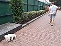 HK CWB 銅鑼灣 Causeway Bay 高士威道 Causeway Road 火龍徑 Fire Dragon Path fat white doggy walking October 2019 SS2 02.jpg