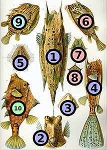 Haeckel Ostraciontes big spots.jpg
