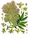 Hagenia abyssinica - Köhler–s Medizinal-Pflanzen-208.jpg