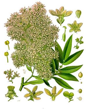 Kosobaum (Hagenia abyssinica), Illustration.