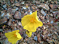 Halimium halimifolium FowersCloseup 2009May10 DehesaBoyaldePuertollano.jpg