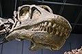Haplocanthosaurus delfsi skull - Cleveland Museum of Natural History - 2014-12-26 (21103605186).jpg