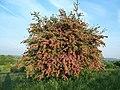 Hawthorn blossom on Hensborough Hill - geograph.org.uk - 346307.jpg