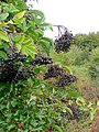 Hedgerow fruits - geograph.org.uk - 1514010.jpg