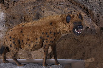 Cave hyena - Reconstruction, Heinrichshöhle, Germany.