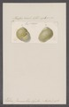 Helix jannellei - - Print - Iconographia Zoologica - Special Collections University of Amsterdam - UBAINV0274 089 01 0073.tif