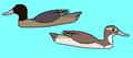 Heteronetta atricapilla.PNG